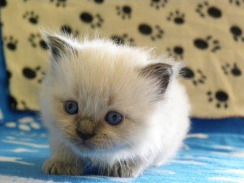 بالصور صور القطط الشيرازي , اجمل صور القطط الرقيقة الجميلة 15833 9
