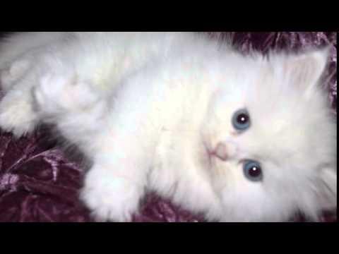 صور صور القطط الشيرازي , اجمل صور القطط الرقيقة الجميلة