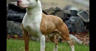 بالصور انواع الكلاب بيتبول , اروع الكلاب فى العالم 15067 12 310x165