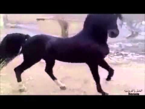 بالصور انواع الخيول بالصور , اروع واجمل الخيول الجميلة 15121 4