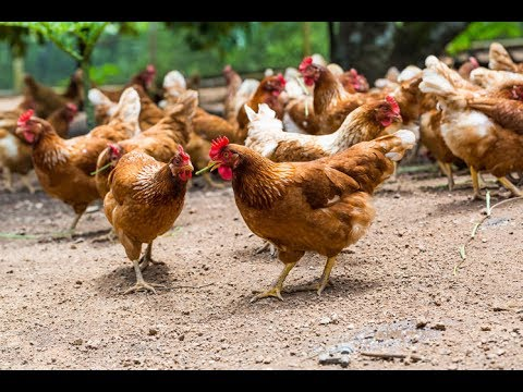 صور كيفية تربية الدجاج , فائدة اكل الدجاج واهميته
