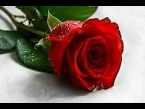 صورة الصور الورود الجميلة , اروع واجمل الصور الورد الرقيقة الجميلة