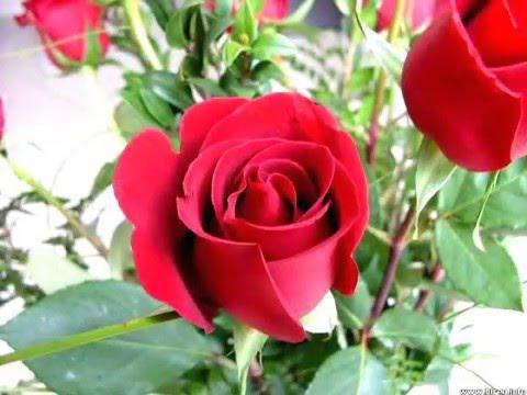 صورة الصور الورود الجميلة , اروع واجمل الصور الورد الرقيقة الجميلة 16159 3