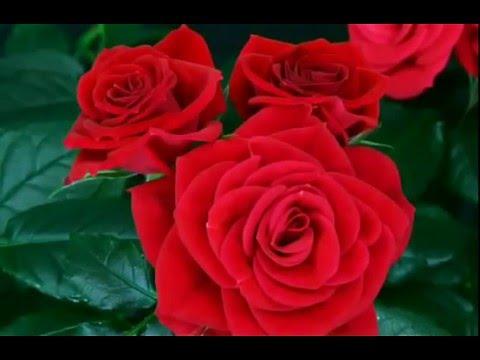 صورة الصور الورود الجميلة , اروع واجمل الصور الورد الرقيقة الجميلة 16159 5