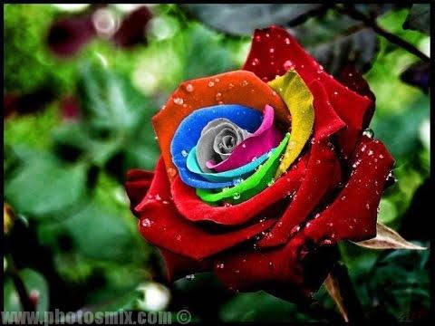صورة الصور الورود الجميلة , اروع واجمل الصور الورد الرقيقة الجميلة 16159 6