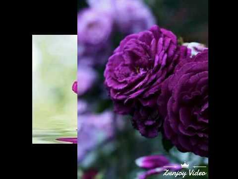 بالصور اشكال ورود جميلة , اروع واجمل الاشكال الجميلة للورود 16163 11