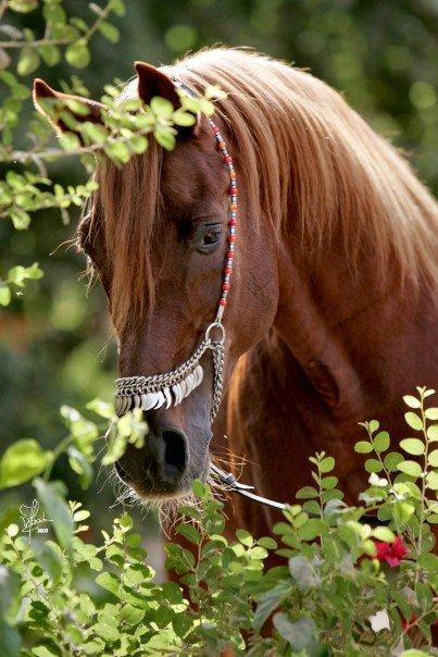 بالصور خيول عربية اصيلة , اناقة الخيول العربيه 2220 10