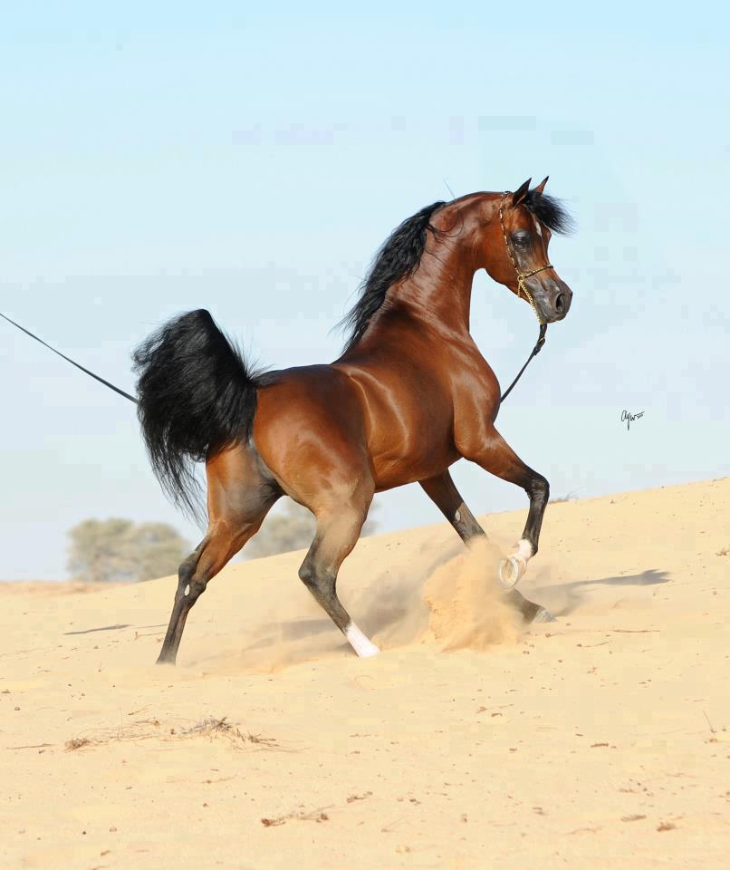 بالصور خيول عربية اصيلة , اناقة الخيول العربيه 2220 11