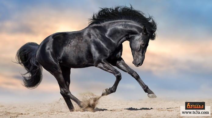بالصور خيول عربية اصيلة , اناقة الخيول العربيه 2220 13