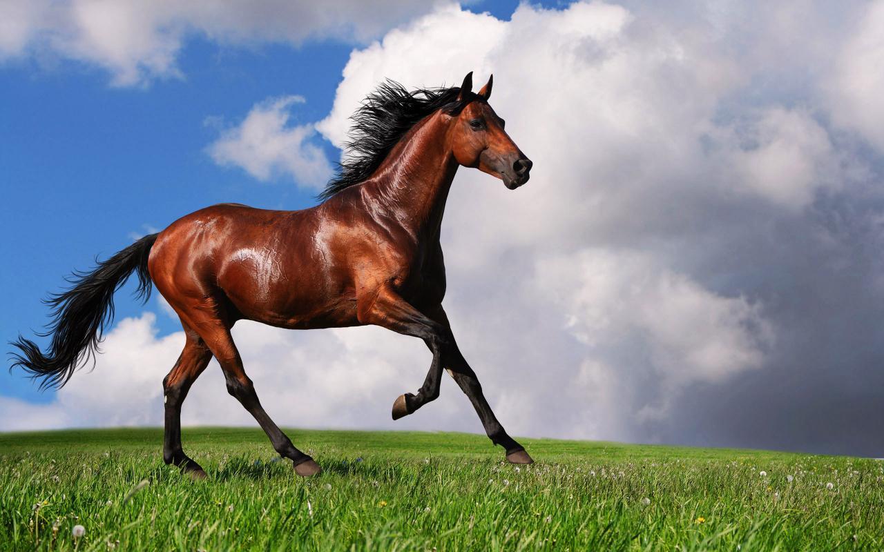 بالصور خيول عربية اصيلة , اناقة الخيول العربيه 2220 14