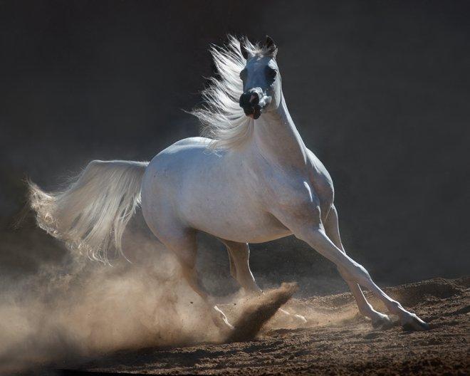 بالصور خيول عربية اصيلة , اناقة الخيول العربيه 2220 15