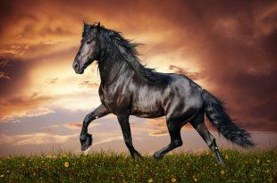 صورة خيول عربية اصيلة , اناقة الخيول العربيه