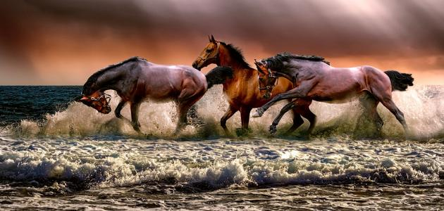 بالصور خيول عربية اصيلة , اناقة الخيول العربيه 2220 2