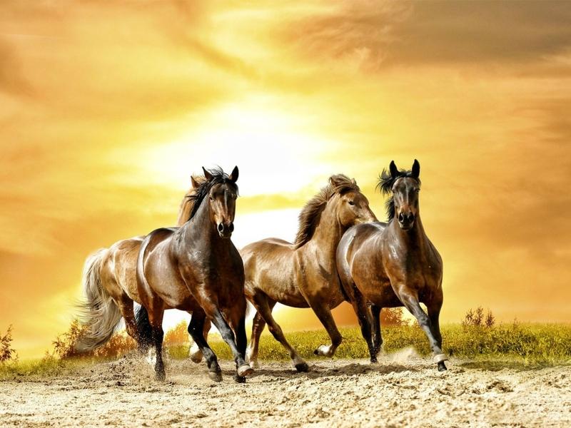 بالصور خيول عربية اصيلة , اناقة الخيول العربيه 2220 5