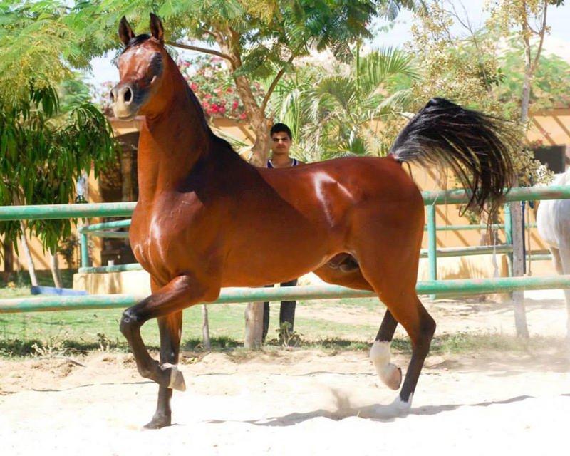 بالصور خيول عربية اصيلة , اناقة الخيول العربيه 2220 6