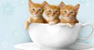 صورة صور قطط صغيرة 2462 7 310x165